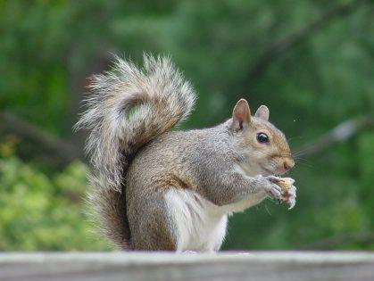 Unwanted intruder seeks nuts at Dayspring