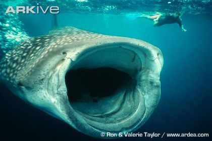 large-Whale-shark-feeding